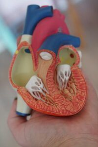 plastic anatomical heart